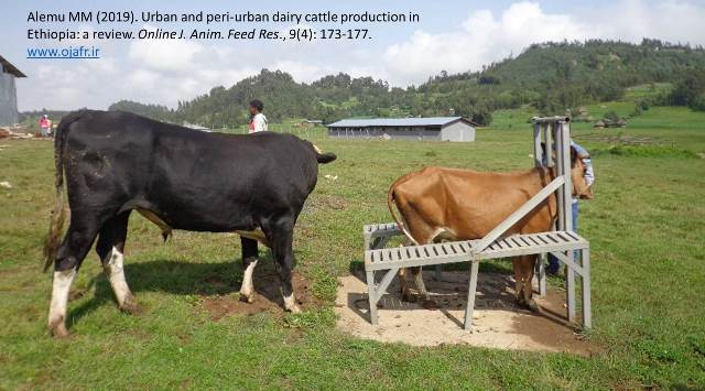 Urban_and_peri-urban_dairy_cattle-low