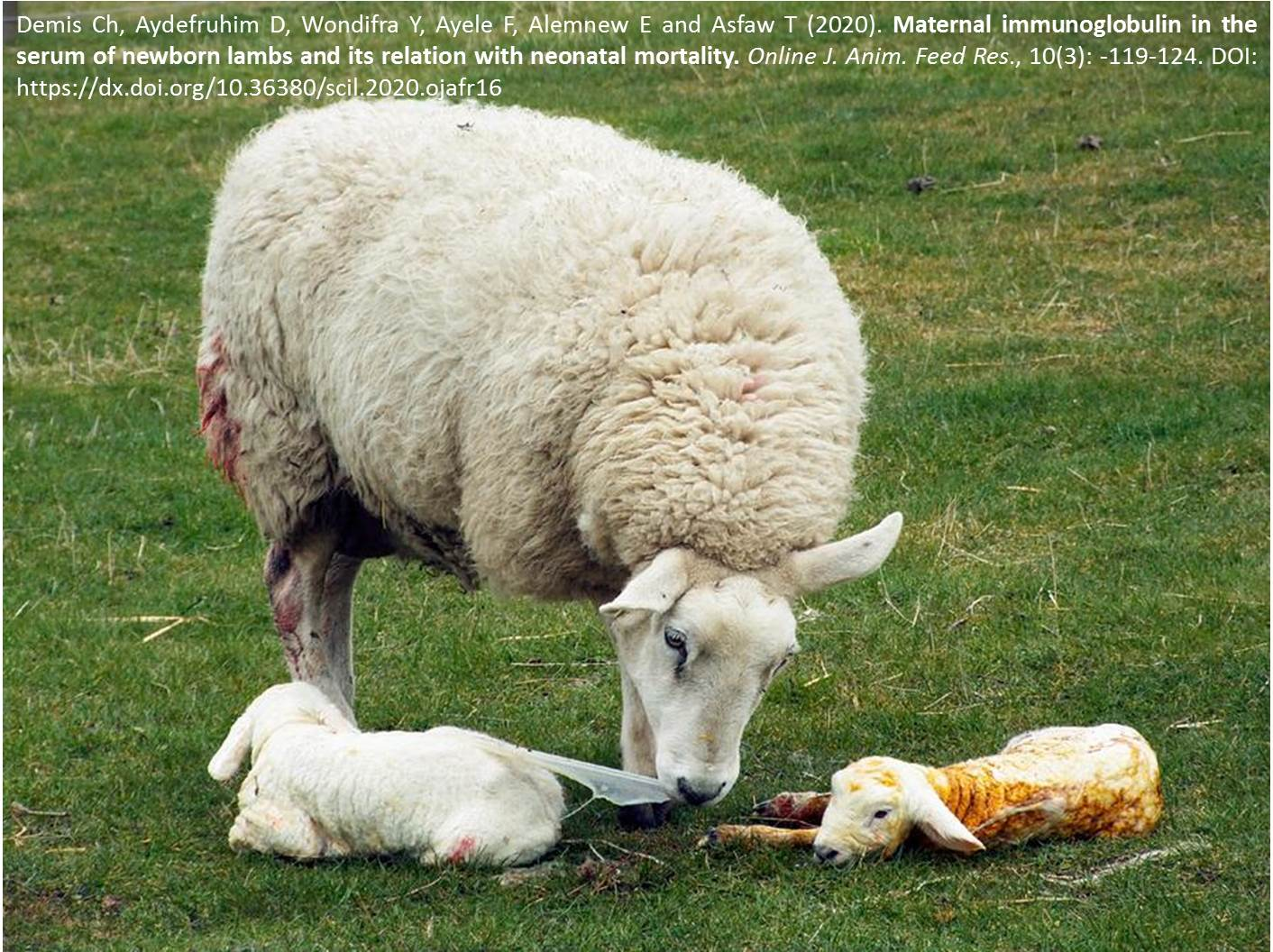 1166-neonatal_mortality_of_newborn_lambs
