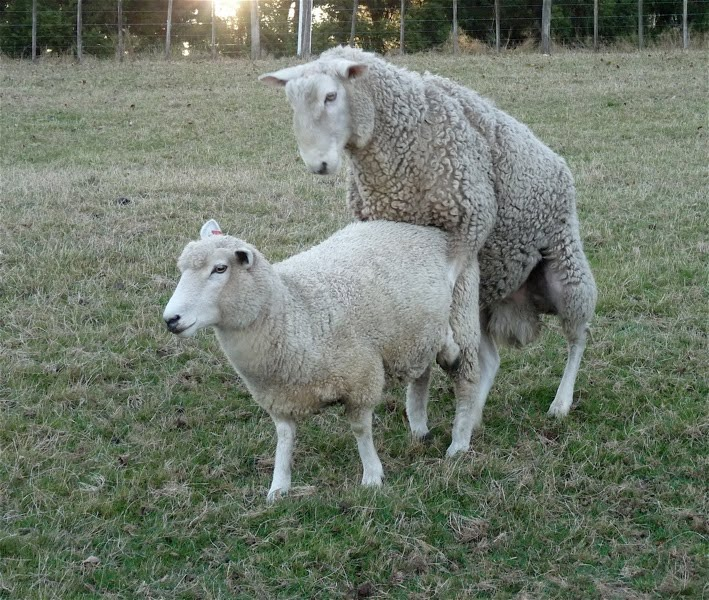 natural_mating_on_production_of_crossbred_lambs